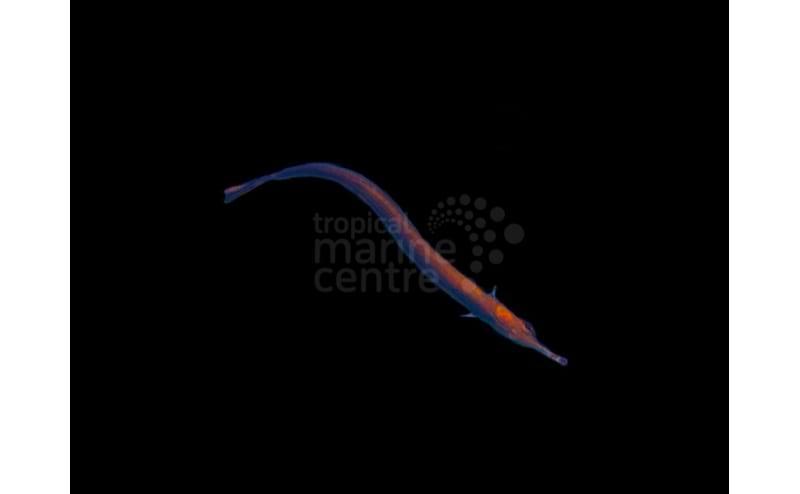 Pipefish - Blue - Doryrhamphus excisus   TMC